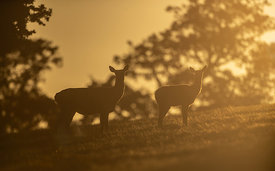 Red Deer Hinds at Dawn