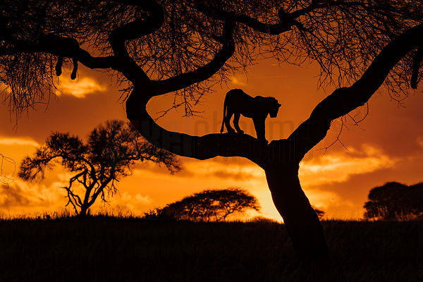 Lion in a Tree at Sunset