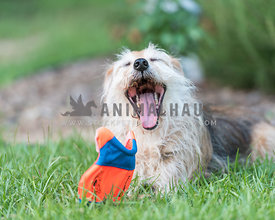 scruffy dog yawning with toy on grass