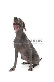 Blue weimaraner yawning against white background