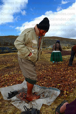 Man trampling on potatoes during freeze drying process that turns them into chuño , La Cumbre , Bolivia