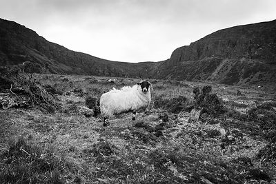 Sheep_Comeragh_mountains_25022016