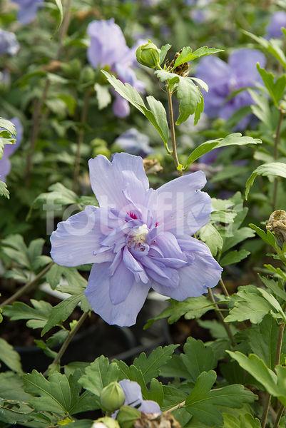 Photo De Hibiscus Syriacus Blue Chiffon Notwood3 Althéa Bleu