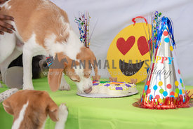 beagle standing on a table eating birthday cake