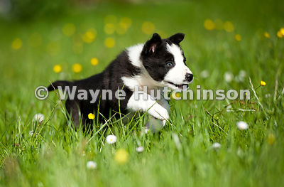 Border collie puppy running in meadow. Cumbria.