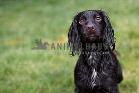 wet cocker spaniel dog with white marking