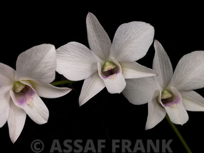 Three Orchids on black background