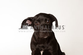 Small black puppy on white background