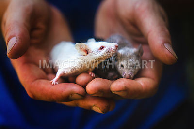 3 mice held in hands