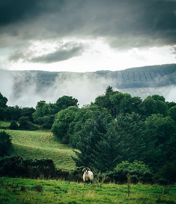 Boharnabreen_foggy_sheep-2