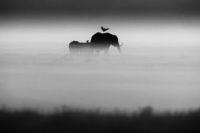 1532-Elephants_and_bird_Kenya_2015_Laurent_Baheux