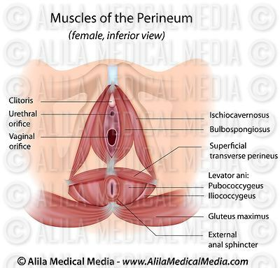 Pelvic floor muscles in female labeled.