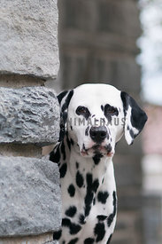 Dalmatian headshot by stone pillar