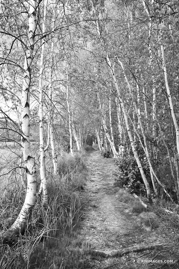 PATH AND WHITE BIRCH TREES SIEUR DE MONTS ACADIA NATIONAL PARK MAINE BLACK AND WHITE VERTICAL