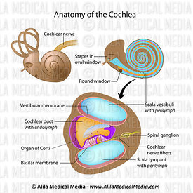 Anatomy of the cochlea of human ear