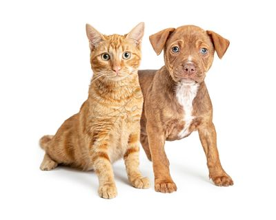 Orange Cat and Small Brown Dog Together