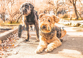 airedale and lab mix in wheelchair in Central Park, New York