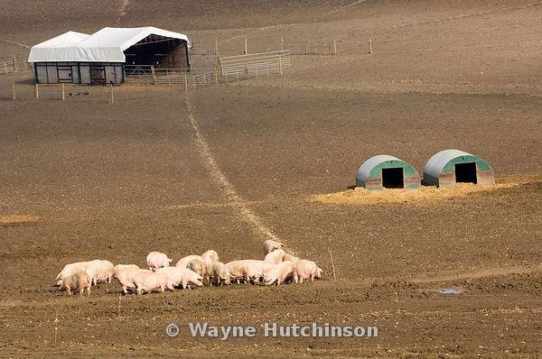 Hutchinson Photography Farm Images Free Range Pig Unit
