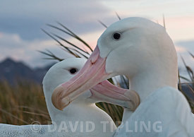 Wandering Albatross Diomeda exulans pair on Albatross Island South Georgia, January