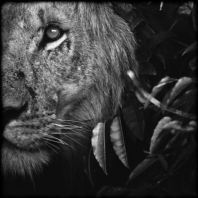 4083-Lion_between_leaves_Kenya_2006_Laurent_Baheux