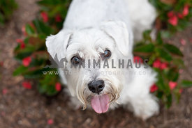 white schnoodle looking up at camera