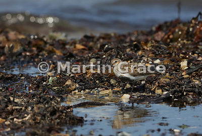 Dunlin (Calidris alpina) mirroring the colours of the shoreline, Bigton Wick, Shetland