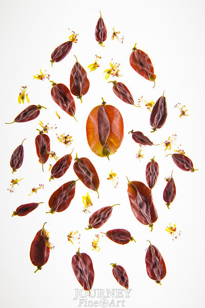 Jamaica Dogwood Seeds