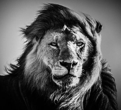 5217-Face_to_Face_Lion_Tanzania_2007_Laurent_Baheux