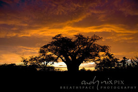 A baobab tree silhouetted against a vivid orange cloudy sky at sunrise.