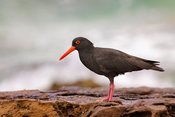Sooty Oystercatcher, South Coast NSW Australia