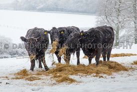 Winter Feed, Delamere Forest