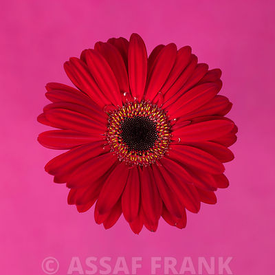 Close-up of red Gerbera daisy