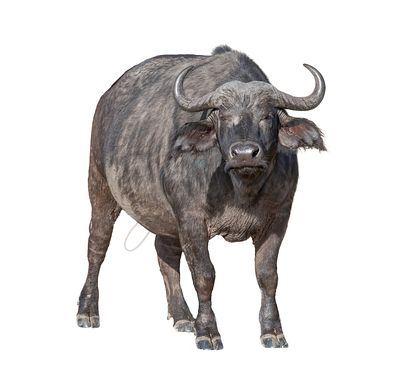 African Cape Buffalo Isolated