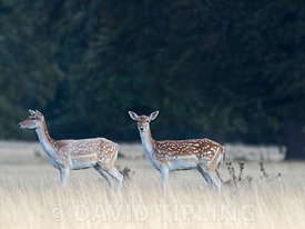 Fallow deer  Dama dama does in autumn Holkham Norfolk