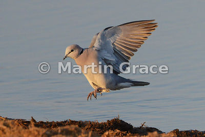 Cape Turtle-Dove (Ring-Necked Dove) (Streptopelia capicola) in flight at waterhole in Etosha National Park, Namibia