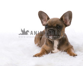 Baby French Bulldog on white rug