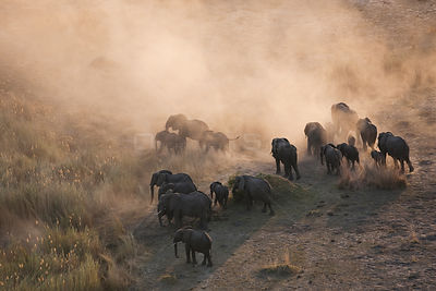 Aerial view of African elephants (Loxodonta africana) kicking up dust at dusk as they migrate in their search for food and wa...