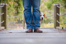 Shy Beagle hiding behind owners legs