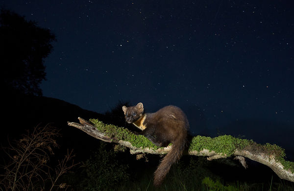 Pine Marten on a starry night sky