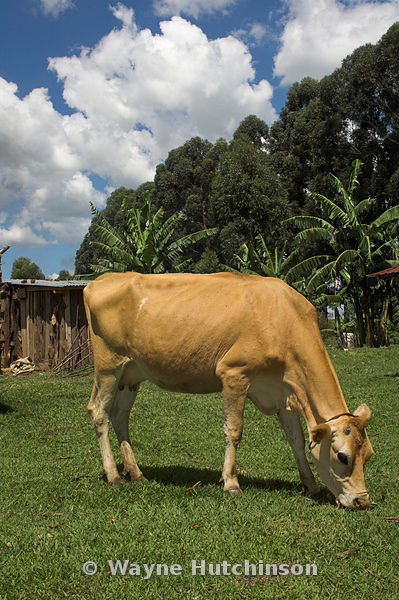 Dairy cow, donated to a family by a charity, grazing on grass, western Kenya Africa