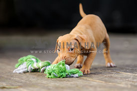 Red nose puppy playing with a rope toy