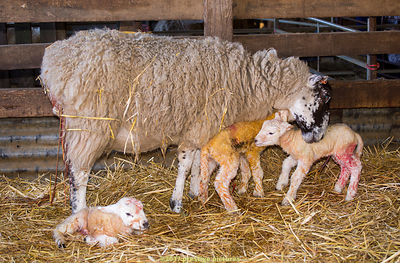Ewe with three newborn lambs  in a barn