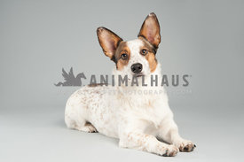 white corgi cattle dog mix with brown spots laying on a gray backdround looking at the camera