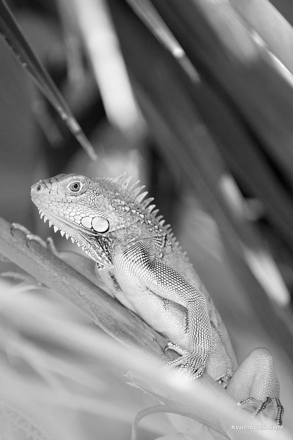 LIZARD FLORIDA KEYS BLACK AND WHITE
