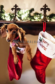 dachshund during christmas in stocking