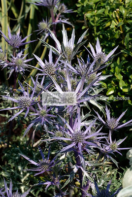 Eryngium bourgatii 'Picos Amethyst' (Houx de mer), Sea holly, Paysagiste : Paul Martin, Hampton Court, Angleterre
