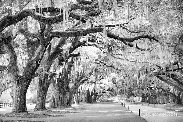 OAK TREES BOONE HALL PLANTATION CHARLESTON SOUTH CAROLINA BLACK AND WHITE