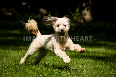 Small white shaggy dog leaping on green grass.jpg