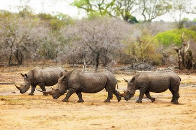 Three Rhinos Walking Together