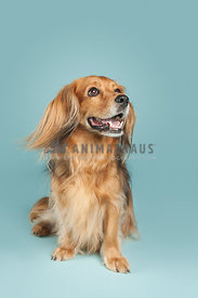 small brown dachshund beagle mix dog with long fur sitting on blue background